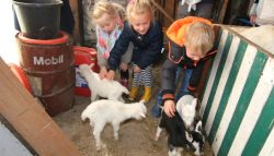 Unieke geiten vierling kollumerzwaag