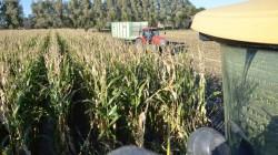 Mais oogst van start in NOF