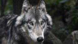 Wolf duikt vermoedelijk op in Fryslân