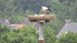 Opnieuw ooievaars duo bij familie de Boer in Kollumerzwaag