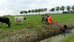 Brandweer haalt koe uit de sloot in Anjum