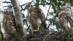 Jonge haviken op nest
