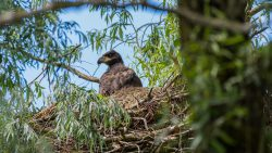 Zeearend op nest