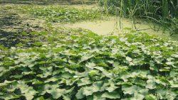 Exotische waterplanten bestreden in Damwâld