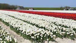Tulpenvelden in bloei bij Morra en Ternaard