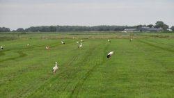 12 ooievaars op land, dat net geïnjecteerd is in Westergeest