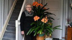 Negentig knoppen in clivia's van 90-jarige mevrouw Bijlstra
